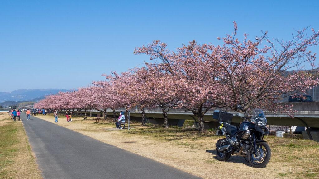 狩野川河津桜並木